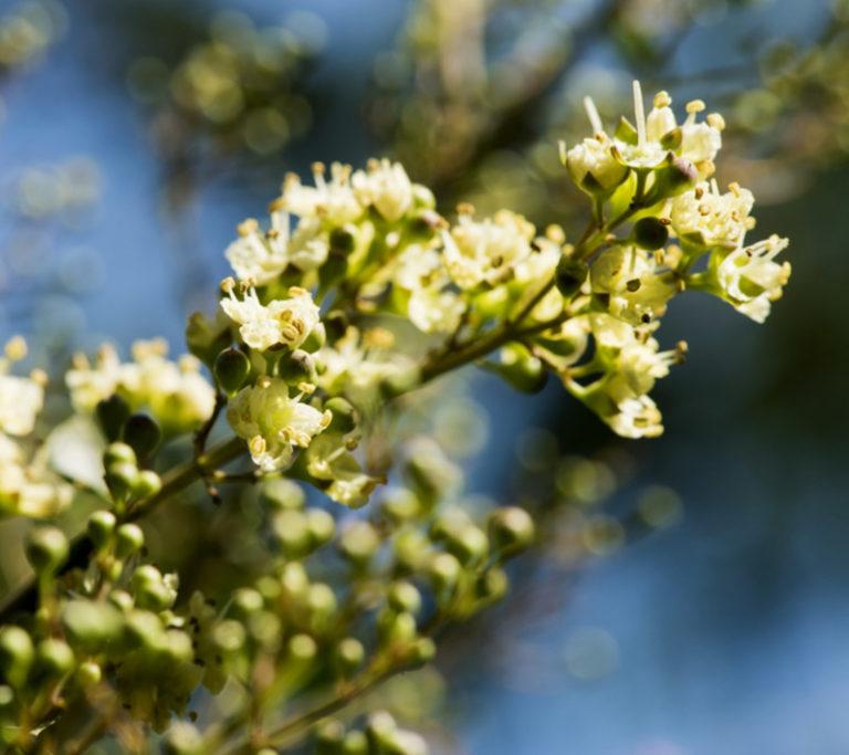 fleur-henné