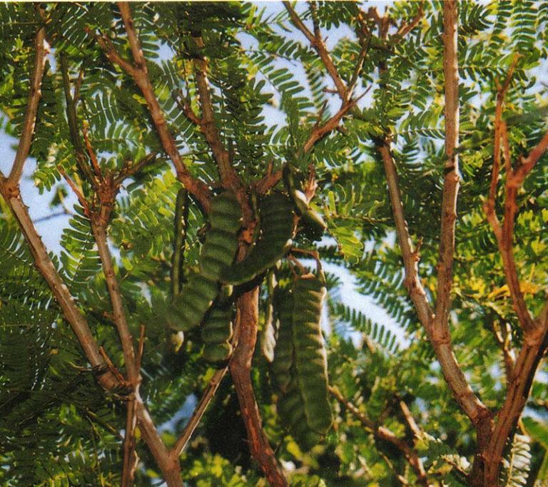 plante-ayurvedique-shikakai